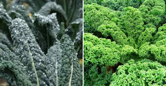 Kale: Is it Good or Bad for You, Proven Benefits, Nutrition Facts (Science Based)