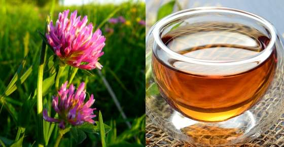 Proven Health Benefits of Red Clover & How to Make Red Clover Tea