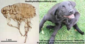How to Naturally Get Rid of Fleas From Your Home, Garden and Pets