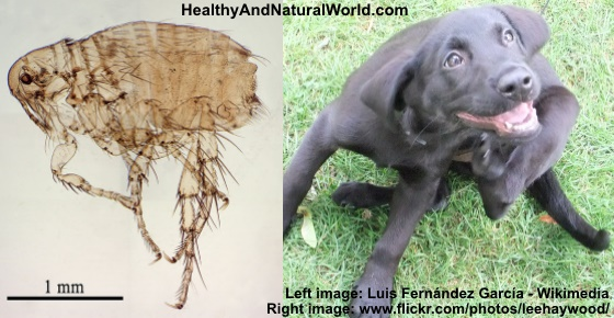 How To Naturally Get Rid Of Fleas From Your Home Garden And Pets