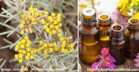 The Health Benefits and Best Uses of Helichrysum Essential Oil