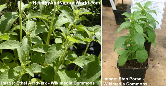 The Health Benefits of Stevia & The Dangers of Commercial Stevia