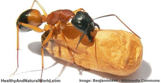 How To Get Rid Of Sugar Ants Naturally Forever