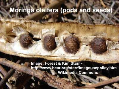 moringa-pods-and-seeds