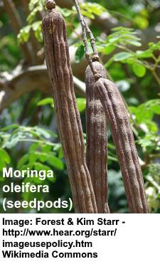 moringa-seedspods