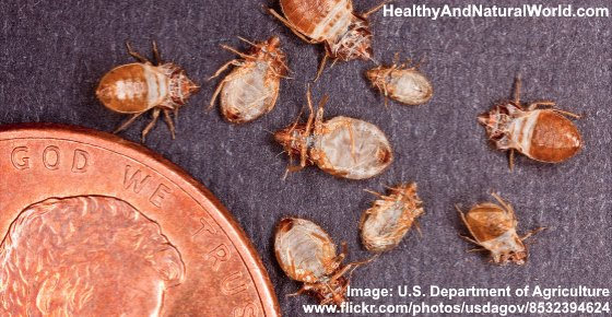 other bugs mistaken for bed bugs