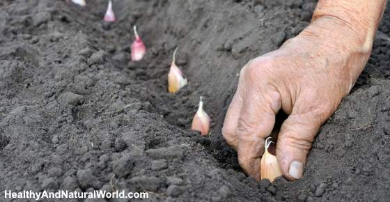 How to Grow Garlic Step by Step Guide