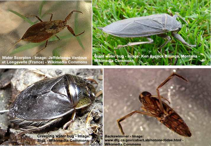 Waterbug What It Is And How To Effectively Get Rid Of It