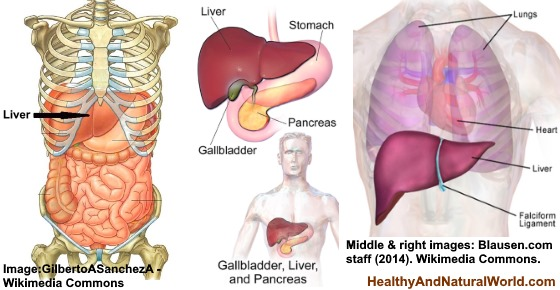 Where Is Your Liver Located And What Causes Liver Pain