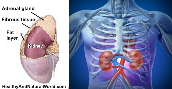 Kidneys Location In Body & Kidney Pain Location and Symptoms