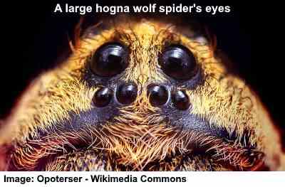 Wolf spider's eyes