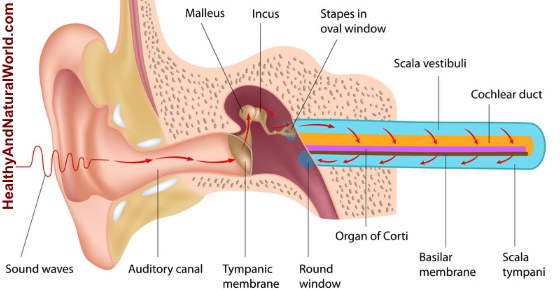 the features of the work of the ear and accoustics and the ways to use sound waves How the ear works, and how electrical signals are sent to the brain in both normal hearing and with a cochlear implant  these sound waves reach the ear and .