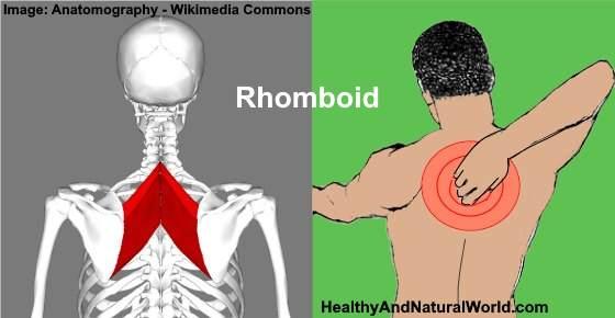 rhomboid back muscle