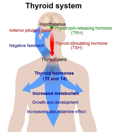 Thyroid System (TRH, TSH, T3, T4)