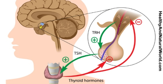 Thyroid Hormones TSH TRH
