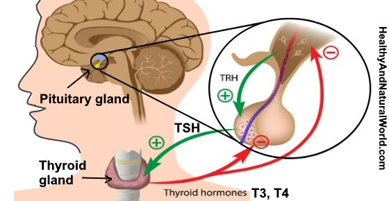 Elevated TSH: Causes, Symptoms, and How it Affects T3 and T4
