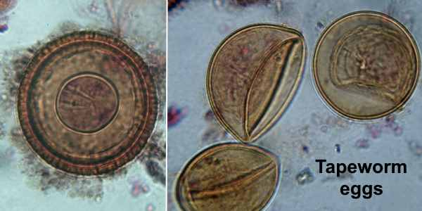 tapeworm eggs images