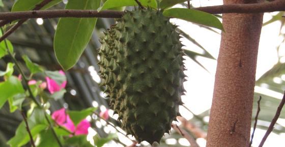 Guanabana (Fruit, Tea): Scientifically Proven Health Benefits
