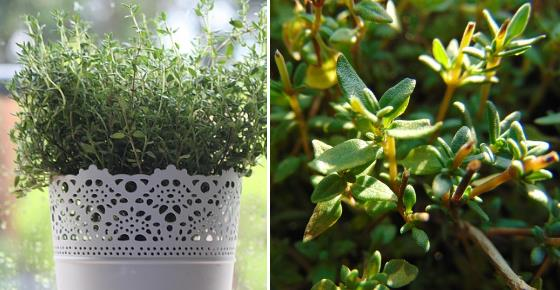 Proven Health Benefits and Uses of Thyme and Thyme Tea
