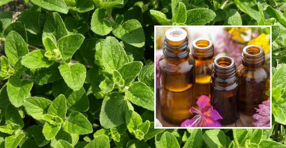 Oregano Oil (Oregano Essential Oil) Benefits and Uses
