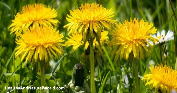 Many Proven Benefits of Dandelion