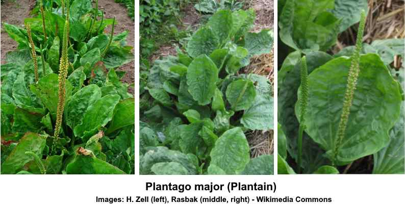 Plantain (Plantago major): Why It's an Herb and Not a Weed, Uses, Benefits and More