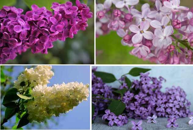 Lilac Bush Facts How To Grow It Care Tips And More