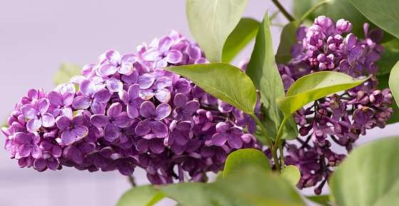 Lilac Bush: Facts, How to Grow, Care Tips