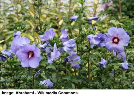 Rose Of Sharon Hibiscus Syriacus Plant Profile Care