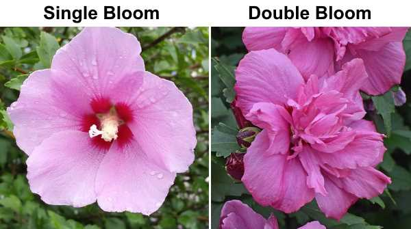 rose of sharon single and double bloom