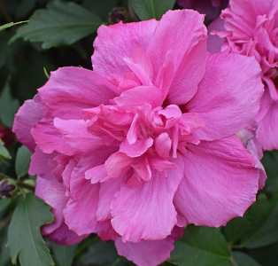 rose of sharon image
