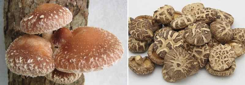 Shiitake mushroom: fresh and dry