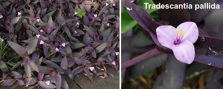Tradescantia pallida (purple heart)