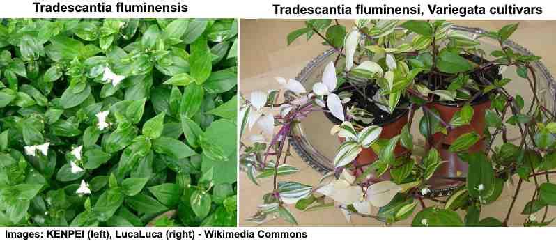 Tradescantia fluminensis (spiderwort)