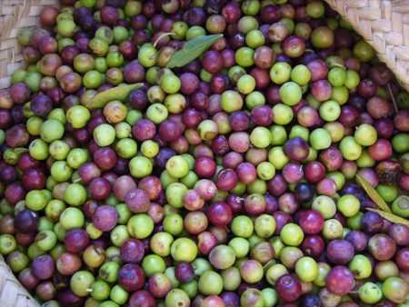 Arbequina type of Olives