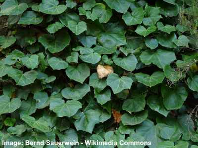 Canarian Ivy image