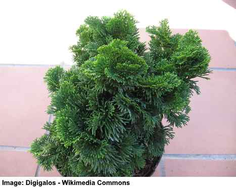 Chamaecyparis obtusa 'Nana_Gracilis' - This needled dwarf evergreen tree makes a great addition to the landscape