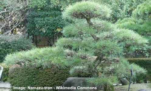 Dwarf Japanese Black Pine