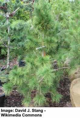 Pinus cembra Pygmaea