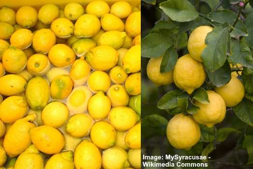 Sorrento and Siracusa lemons