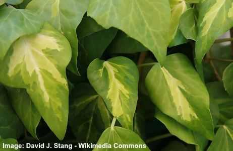 Persian ivy (Sulphur heart)