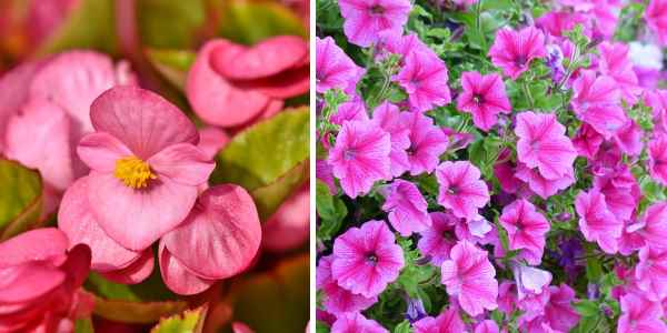 Types of flowers that bloom during autumn (begonia and petunia)