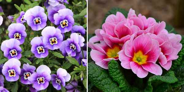 Type of flowers: Spring annuals (pansies and primrose)