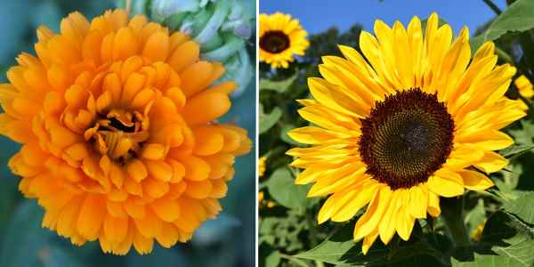 Type of flowers: Summer annuals (marigold and sunflower)