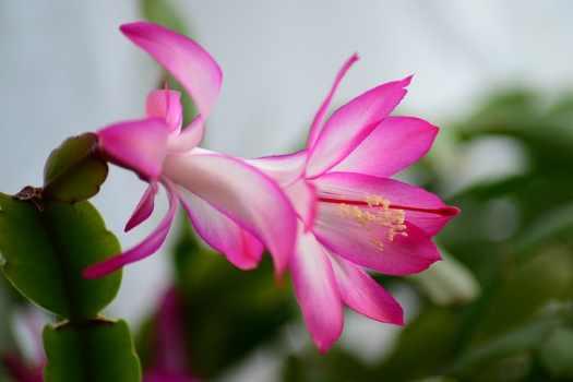 type of flowering cactus