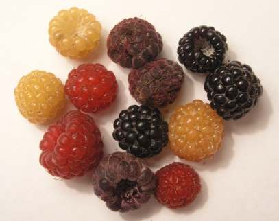 types of wild raspberries