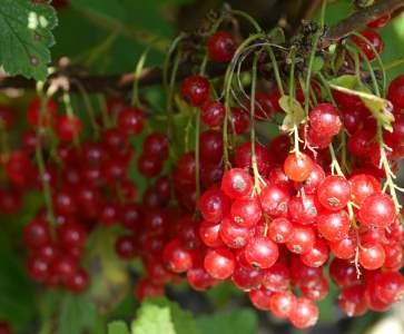 cranberries picture