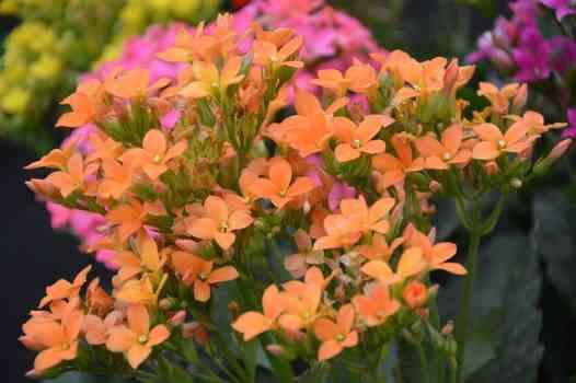 flowering Succulent image