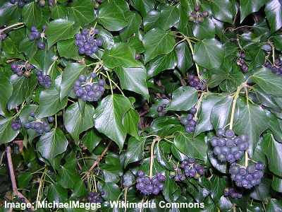 Irish ivy