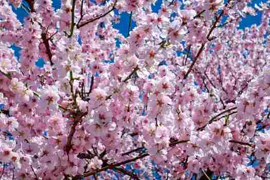 Japanese cherry tree is a type of flowering tree